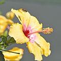 hibiscus-et-abeille