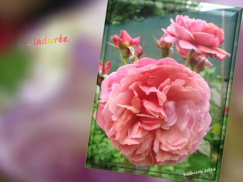 balanicole_2016_11_les nouveaux rosiers de balanicole_L comme ladurée_12