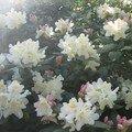 Des rhododendrons... partout partout!