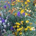2008 10 10 Mon mélange de fleurs qui attirent les abeilles