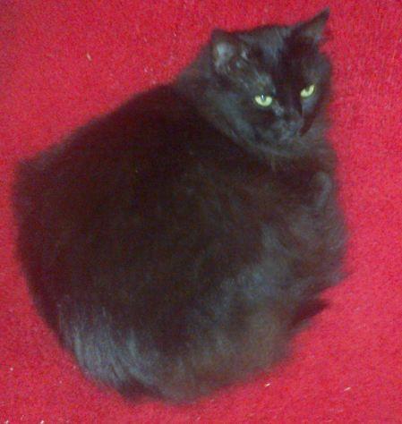 DIAMANT ou la beauté d'un chat noir