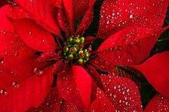 fleur-de-poinsettia-35896981