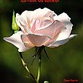 La rose du samedi