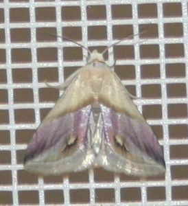 Porphyrinia cochylioides (4)