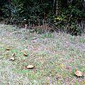 Famille de vieux cèpes noirs séparés de leur arbre par un fossé