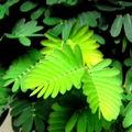 Chez jardiland , plante sensitive