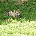Le parc de courzieu, côté loups