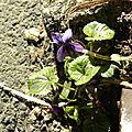 violettes (1)