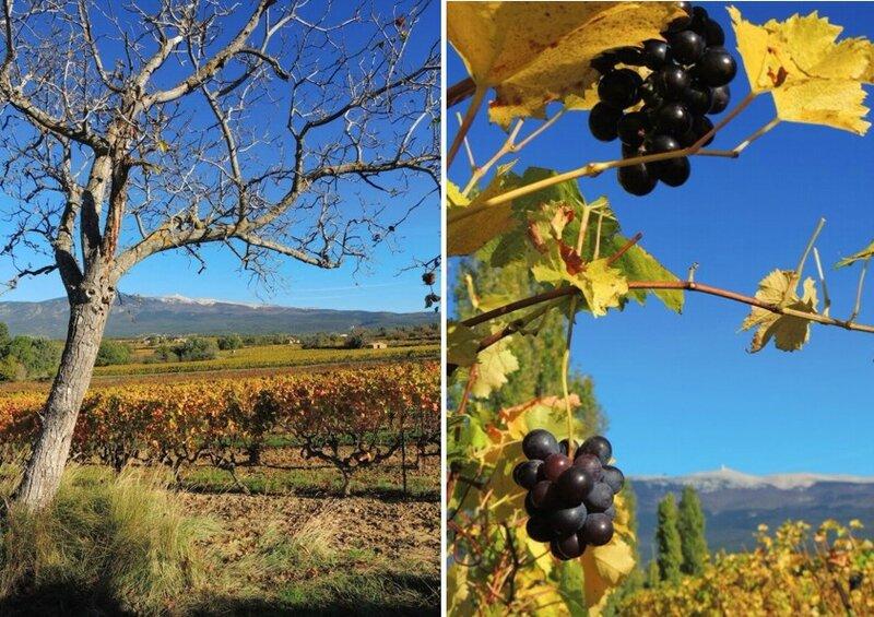 vigne et ventoux2