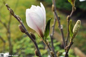 Magnolia-stellata-blanc