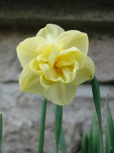 2008 04 24 Une fleur de narcisses