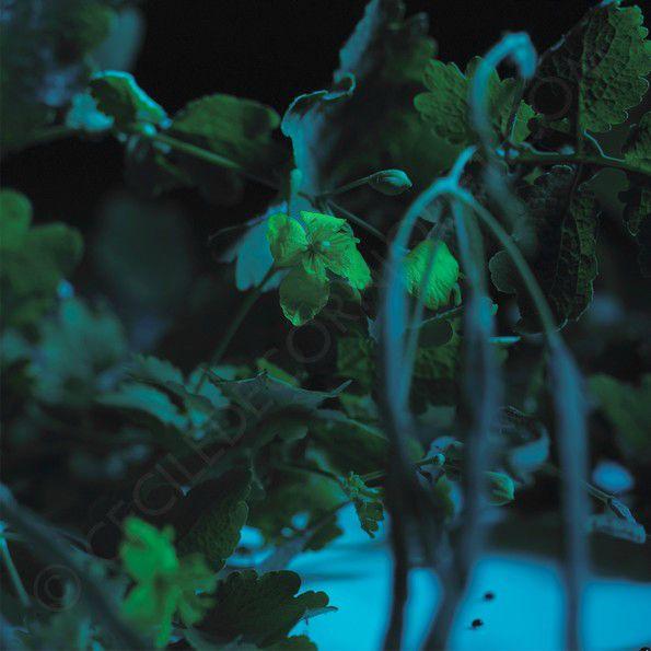 La Chélidoine, l'herbe aux hirondelles