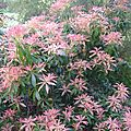 pieris formosa