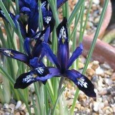 iris réticulé blue note
