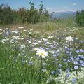 Marguerites et fleurs de lin