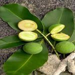 calophylle_inophyle