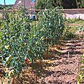 Au potager, récoltes et futures récoltes