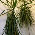 Un Dracaena pour un dcor tropical dans la maison