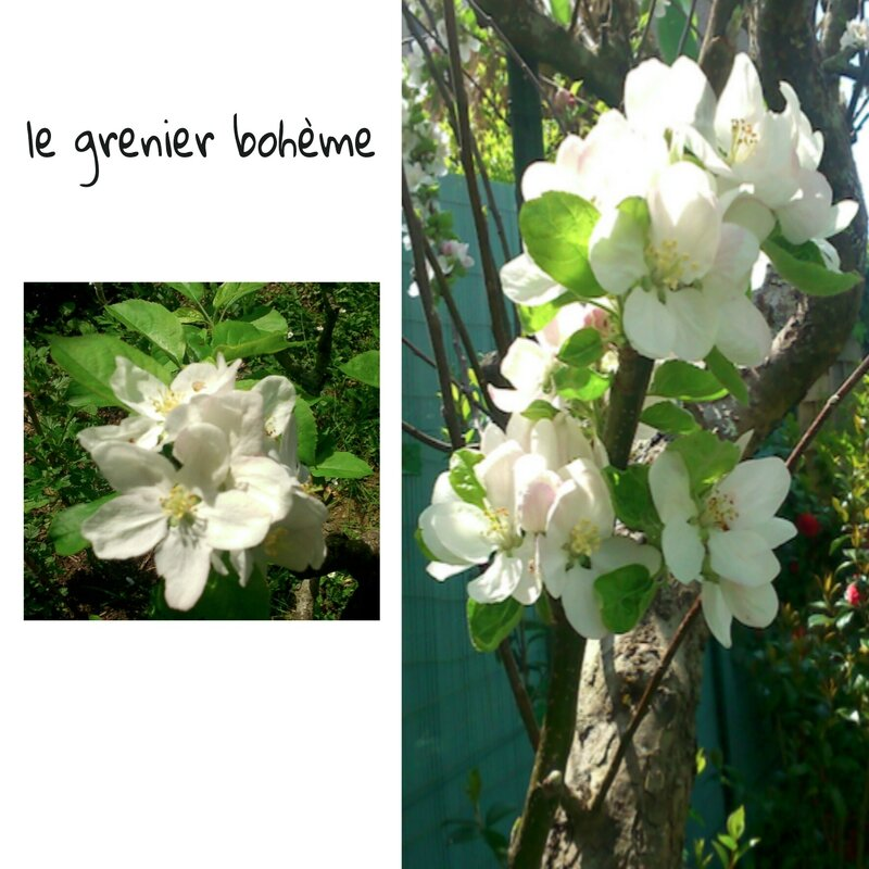 fleurs de pommier 1