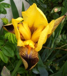 iris_jaune_190513