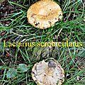 Lactarius scrobiculatus