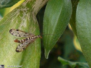 Mouche-scorpion • Panorpa communis mâle