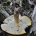 Tricholomopsis rutilans (2)