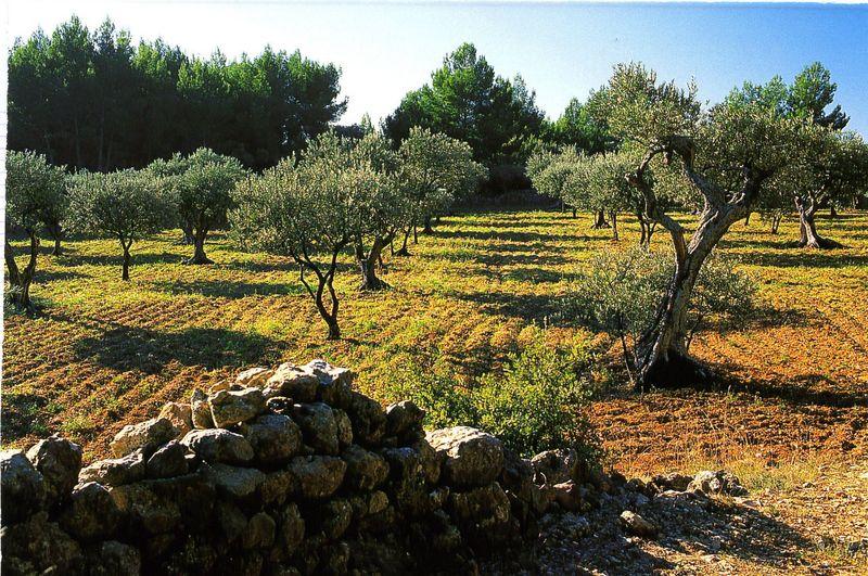 Notes sur les gelées des oliviers