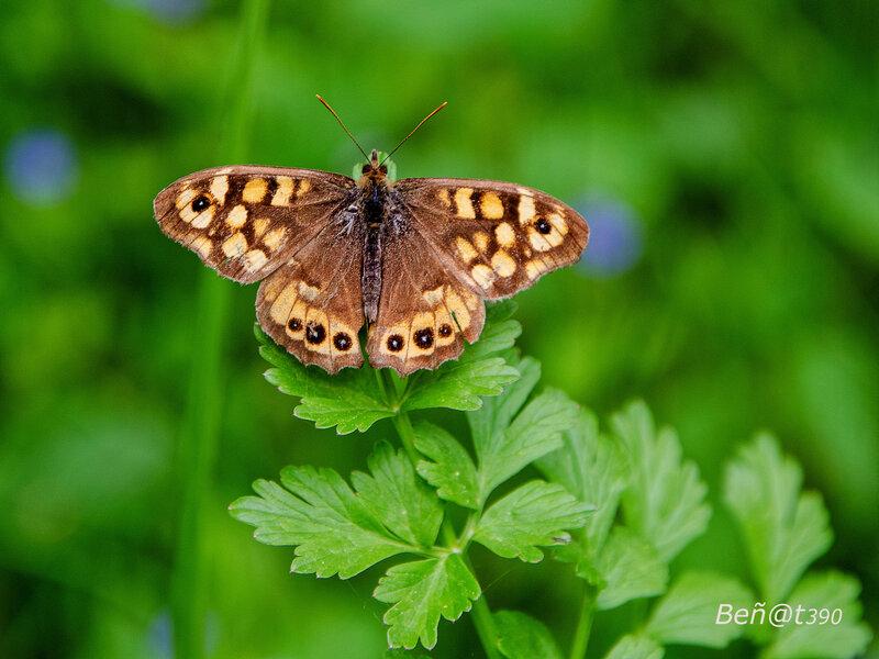 Papillon Tircis-3