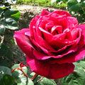 Rose-30