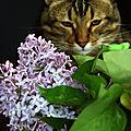 Toulouse et le bouquet de lilas