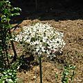 Allium blanc