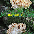 Ramaria sp