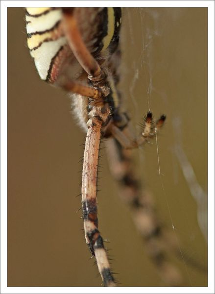 plaine epeire argiope GP 150812