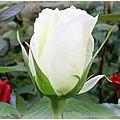 blanc-bouton-de-rose-bbb-image-2