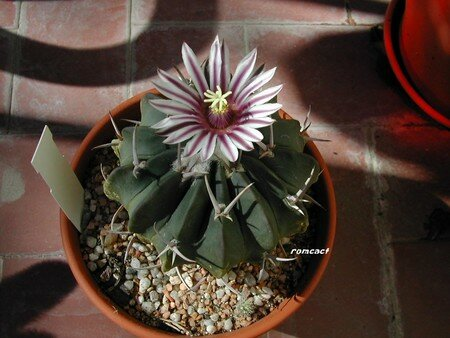 Echinofossulocactus_coptonogonus_fleur__1_