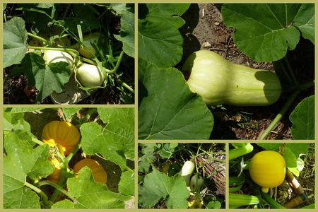 courges1