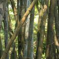 Bambous (sur lesquels on n'a pas tapé)