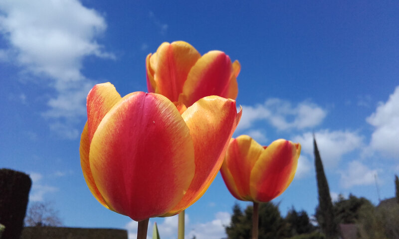 Mes tulipes du jardin - avril 2021