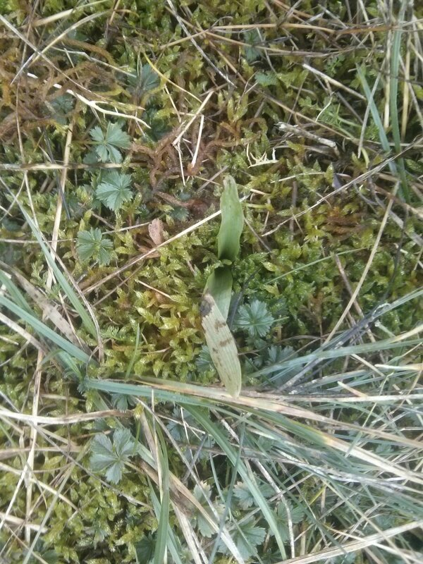ophrys apifera CdF