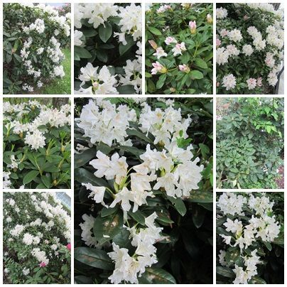 rhododendrons_2