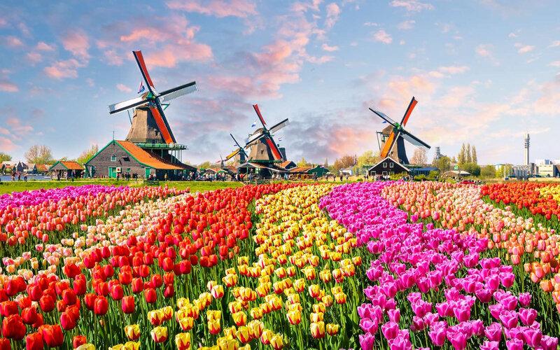 8f8eec17ff_106500_tulipe-hollande