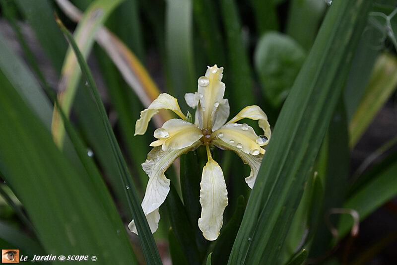 Iris-gigot