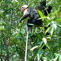 mangrove de parrita_singe capucin_10