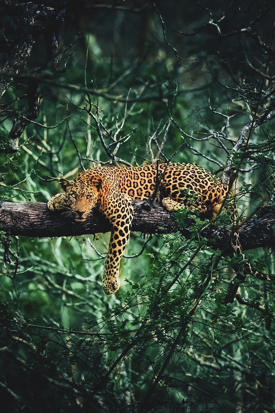 panthere sur une branche jungle