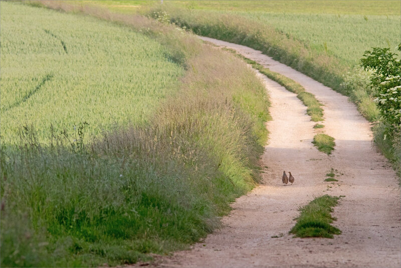 plaine oiseaux perdrix chemin matin 190517