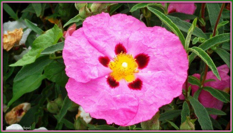 Ciste rose 0405152