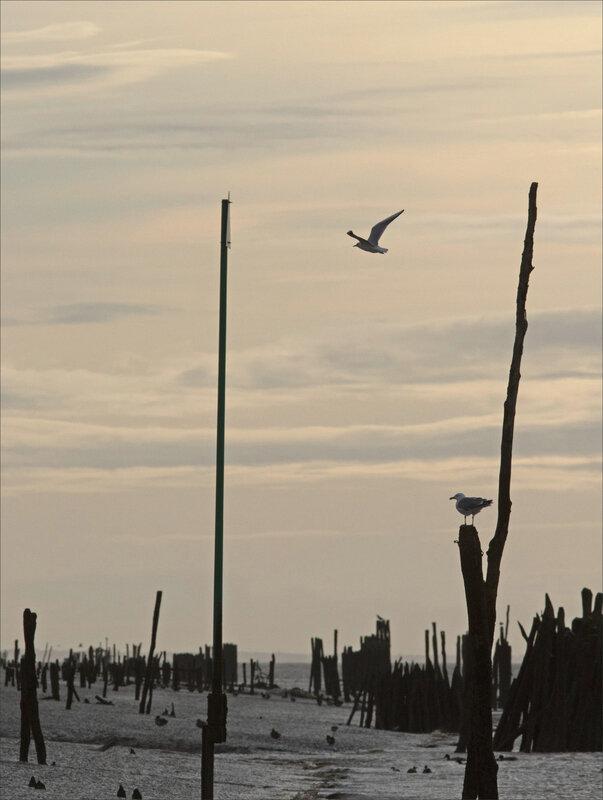 Baie Aiguillon 300 241020 31 piquets oiseaux contrej ym