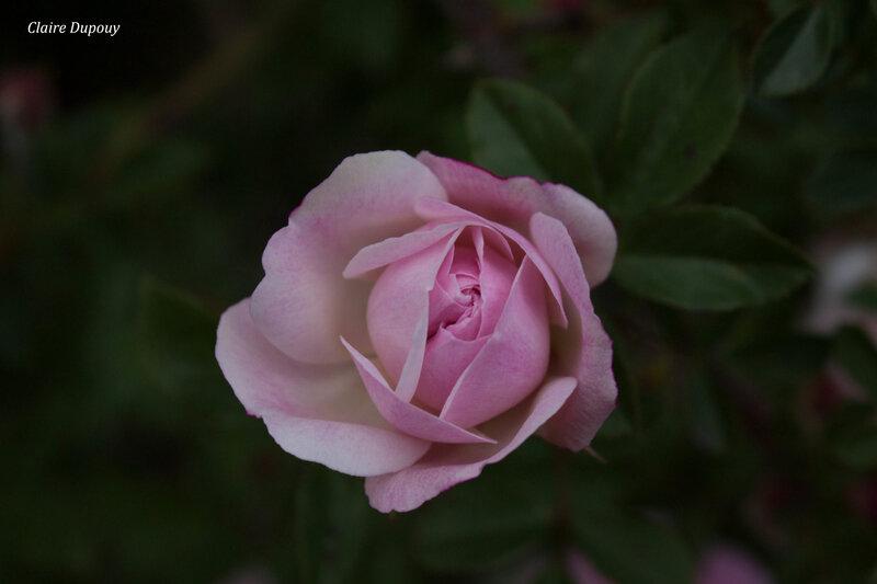Rose roseb
