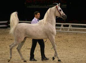 Championnat du monde du cheval arabe le 11 12 10 (68)
